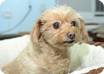 Maltese Mix Dog for adoption in New York, New York - Petunia