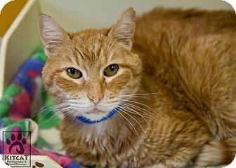 Domestic Shorthair Cat for adoption in Lancaster, Massachusetts - Stevie