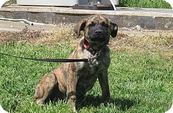 Mountain Cur Mix Dog for adoption in Linden, Tennessee - Willa