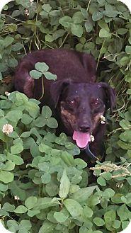 Dachshund/Terrier (Unknown Type, Medium) Mix Dog for adoption in Glastonbury, Connecticut - Fannie Mae