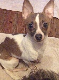 Chihuahua Dog for adoption in S. Pasedena, Florida - Ryder