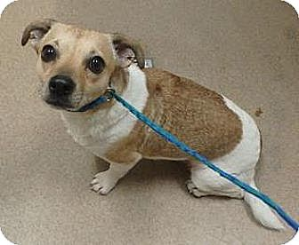 Dachshund Mix Dog for adoption in Las Vegas, Nevada - Tiger