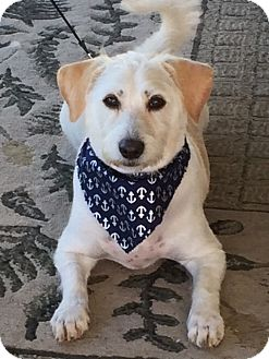 Jack Russell Terrier/Poodle (Standard) Mix Dog for adoption in New York, New York - Tony
