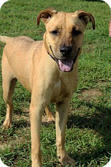 Shepherd (Unknown Type) Mix Dog for adoption in Waldorf, Maryland - Cruiser