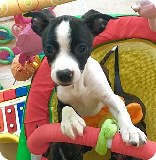 Boston Terrier/Dachshund Mix Puppy for adoption in Courtland, Alabama - May