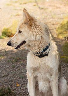 Siberian Husky/Borzoi Mix Dog for adoption in Cedar Crest, New Mexico - Sunshine