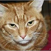 Domestic Shorthair Cat for adoption in Ephrata, Pennsylvania - Luna