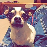 Chihuahua Mix Dog for adoption in Cypress, Texas - Billy
