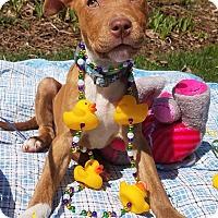 Adopt A Pet :: Shamrock - Detroit, MI