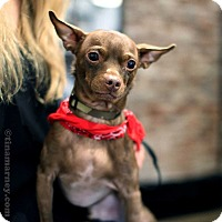 Adopt A Pet :: Sergei! - New York, NY