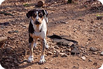 Catahoula Leopard Dog Mix Dog for adoption in Mississauga, Ontario - April