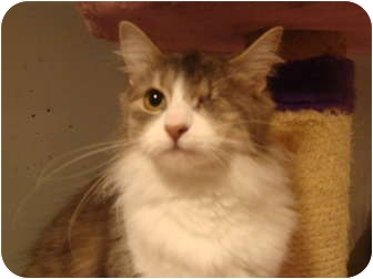 Domestic Longhair Cat for adoption in Muncie, Indiana - Precious