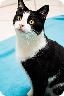 Domestic Shorthair Cat for adoption in Chicago, Illinois - Chilly Willy