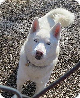 Husky Dog for adoption in Geneseo, Illinois - Keeda