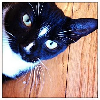 Domestic Shorthair Cat for adoption in Brooklyn, New York - Ethel