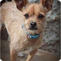 Adopt A Pet :: Short Stuff aka Shortie-ADOPTED! - Apple Valley, CA
