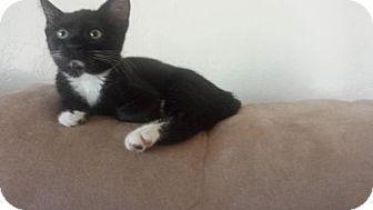 Domestic Shorthair Kitten for adoption in Corona, California - HEPBURN