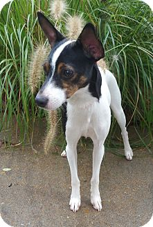 Rat Terrier/Toy Fox Terrier Mix Dog for adoption in Bridgeton, Missouri - Daisy