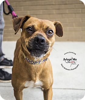 Boxer/Labrador Retriever Mix Dog for adoption in Mooresville, North Carolina - Taylor Swift