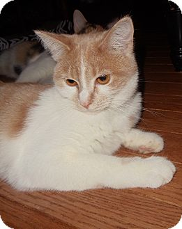 Domestic Shorthair Cat for adoption in Evans, West Virginia - Angel