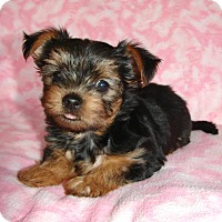 Adopt A Pet :: Dacheal - Palm City, FL