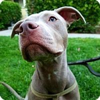 Adopt A Pet :: Bella - Dana Point, CA