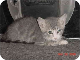 American Shorthair Kitten for adoption in Inverness, Florida - Amos