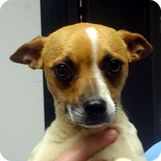 Jack Russell Terrier Dog for adoption in Greencastle, North Carolina - Amber