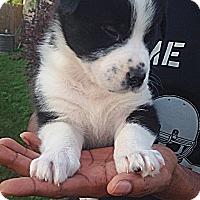 Adopt A Pet :: Shepps - Somers, CT