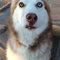 Adopt A Pet :: Ozzie - Cedar Crest, NM