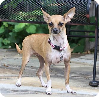 Chihuahua Mix Dog for adoption in Dallas, Texas - Ashley