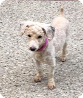 Poodle (Miniature)/Dachshund Mix Dog for adoption in Union Grove, Wisconsin - Joey