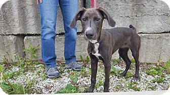 Weimaraner Mix Puppy for adoption in Frankfort, Illinois - Ash