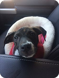 Whippet/Labrador Retriever Mix Puppy for adoption in Memphis, Tennessee - Mercy