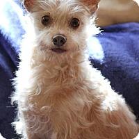 Adopt A Pet :: Scrappy - Ft. Lauderdale, FL