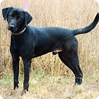 Labrador Retriever Dog for adoption in Pardeeville, Wisconsin - Ruger
