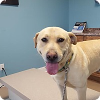 Labrador Retriever/Retriever (Unknown Type) Mix Dog for adoption in Manchester, New Hampshire - Murphy