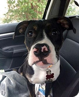 Boxer/American Pit Bull Terrier Mix Dog for adoption in Northeast, Ohio - Brian