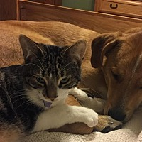 Domestic Shorthair Cat for adoption in Johnson City, Tennessee - Tigger
