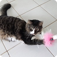 Adopt A Pet :: Snowshoe (COURTESY POST) - Baltimore, MD