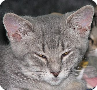 Domestic Shorthair Kitten for adoption in Richfield, Ohio - Oliver and Luke