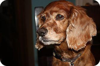 Cocker Spaniel Mix Dog for adoption in Richmond, Virginia - Twinky