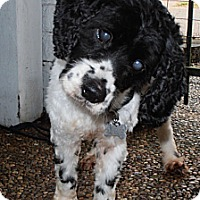 Adopt A Pet :: Domino - Sugarland, TX