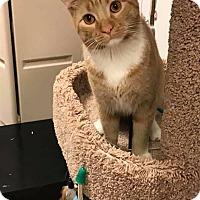 Adopt A Pet :: Mr. Cat - Bensalem, PA