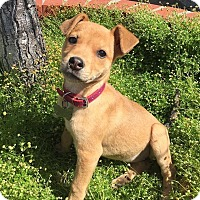 Adopt A Pet :: Orchid - San Diego, CA