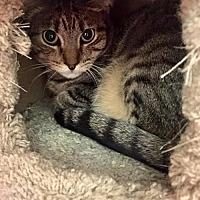 Adopt A Pet :: Nutmeg - Napa, CA