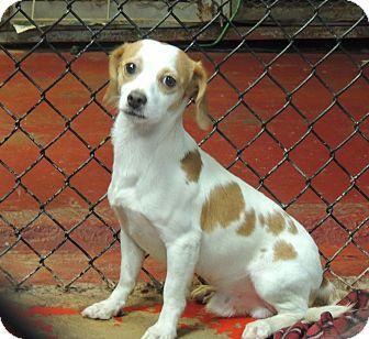 Springer Spaniel Mix Puppy for adoption in Houston, Texas - Barkley