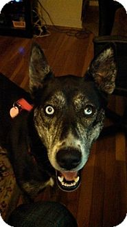 Husky/Cattle Dog Mix Dog for adoption in Elkhart, Indiana - Trixxie