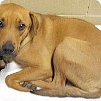 Adopt A Pet :: Copper - Wickenburg, AZ