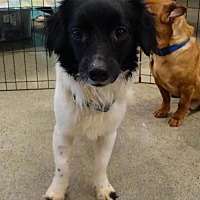 Terrier (Unknown Type, Medium)/Chihuahua Mix Dog for adoption in Tacoma, Washington - Squirt